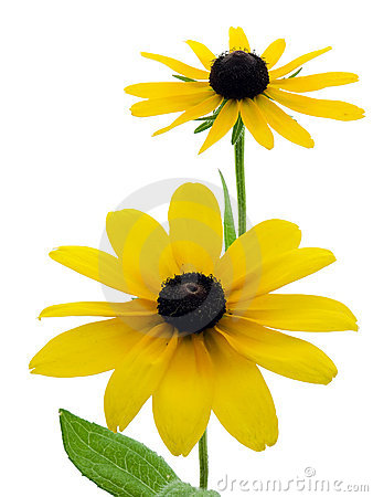 Free Black-eyed Susans Royalty Free Stock Photography - 2803927