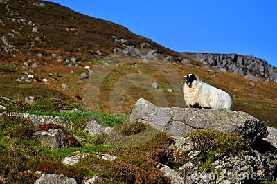 Black face sheep on the rock