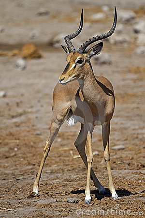 Free Black-faced Impala Royalty Free Stock Image - 22639126