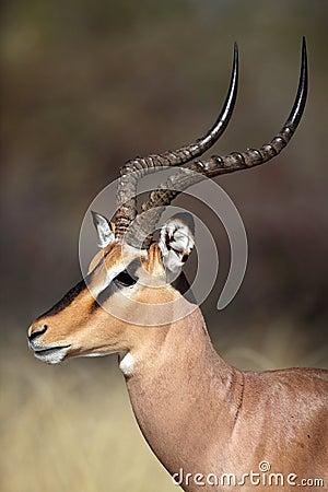 Black-faced impala male close-up, Etosha, Namibia