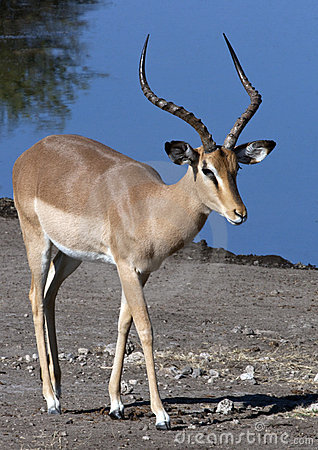 Free Black Faced Impala - Namibia Royalty Free Stock Photo - 13969075