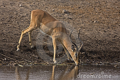 Black-faced impala Ram at Waterhole