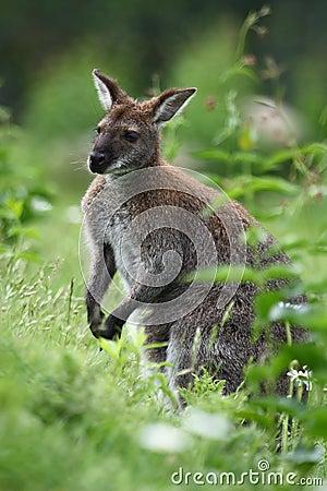 Black-faced kangaroo