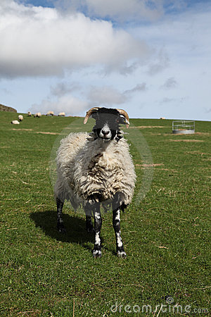 Black-faced sheep