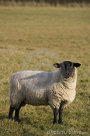 Free Black Faced Sheep Royalty Free Stock Photography - 620627