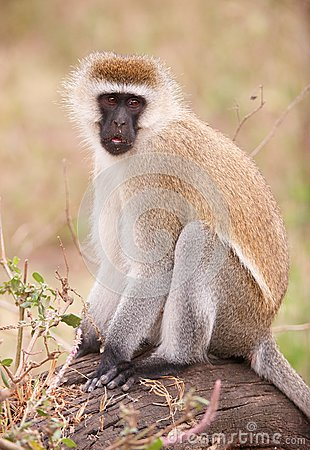 Black-faced vervet monkey