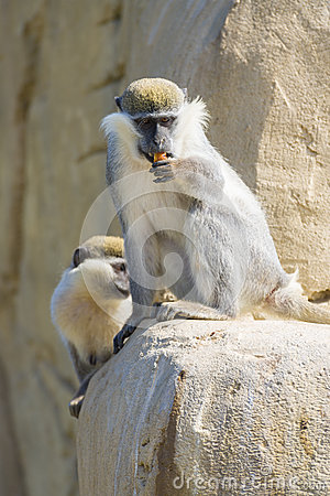 Black Faced Vervet Monkey Eating
