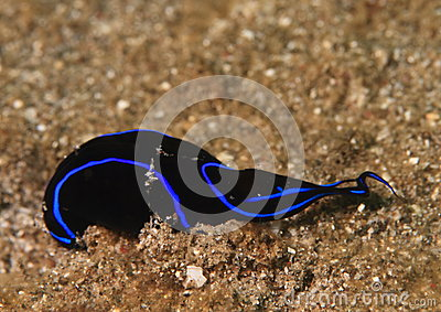 Black flatworm with blue edge