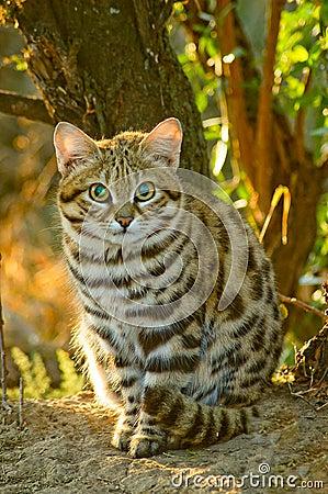 Black Footed Cat Felis Nigripes Royalty Free Stock Photo
