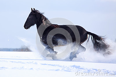 Black Friesian Horse