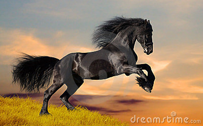 Black Friesian horse gallops on the hill