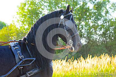 Black Friesian horse in harness in the sunset