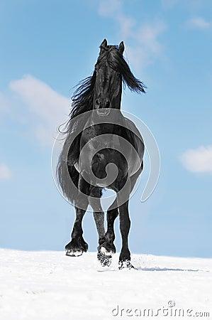 Black Friesian horse runs trot in winter