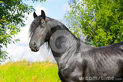 Black Friesian horse stallion portrait in summer