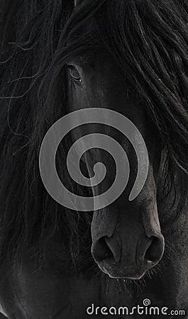 Black Frisian Horse Portrait