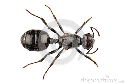 Black garden ant species Lasius niger