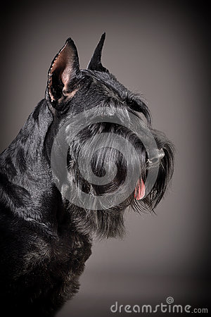 Black Giant Schnauzer dog
