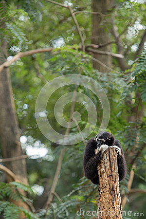 Free Black Gibbon Royalty Free Stock Image - 33874786