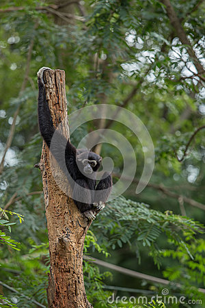Free Black Gibbon Stock Image - 33875131