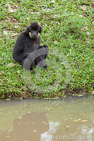 Free Black Gibbon Stock Image - 33875711