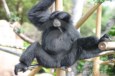Black Gibbon Monkey in a Zoo Stock Photo