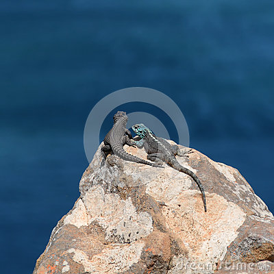 Free Black Girdled Lizard And Southern Rock Agama Royalty Free Stock Images - 76030679