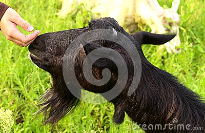 Black Goat and Child s Hand touching nose