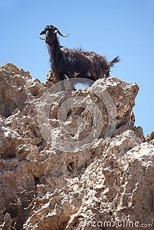 Free Black Goat In A Rock. Crete. Greece Stock Image - 43912041
