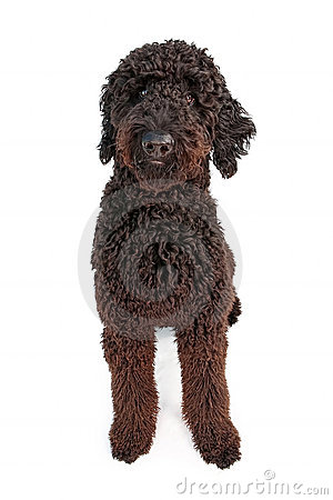 black goldendoodle puppy. BLACK GOLDEN DOODLE DOG (click