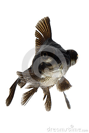 Black Goldfish