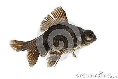 Black Goldfish