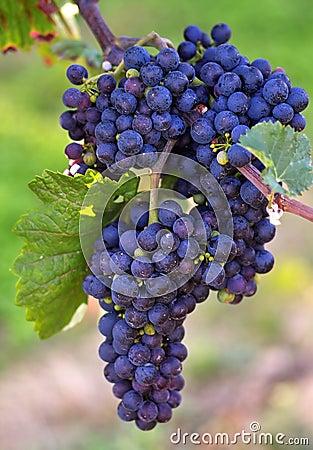 Free Black Grapes Royalty Free Stock Photo - 213925