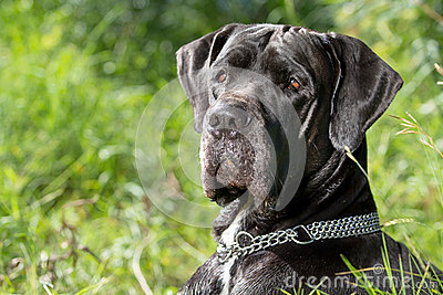 Black great dane dog head