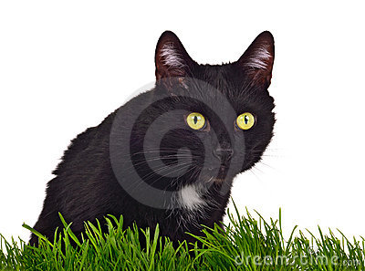 Black green-eyed cat behind grass isolated
