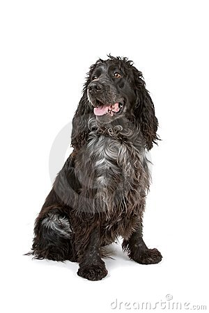 Black and grey cocker spaniel dog