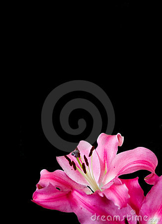 Black ground with pink lily