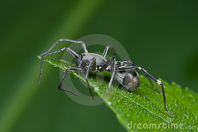 black ground spider