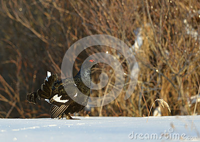 Black Grouse in the snow