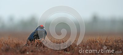 Black Grouse (Tetrao tetrix) in the rain