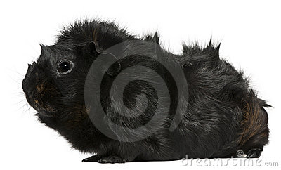 Black guinea pig, 3 years old