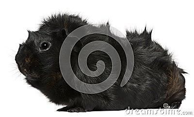 Black guinea pig, 3 years old