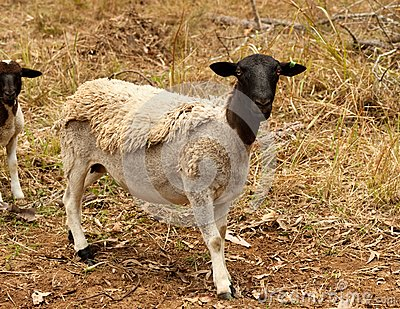 Black head dorper sheep live animal