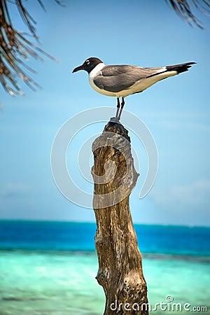 Free Black Headed Gull Royalty Free Stock Photos - 20086518