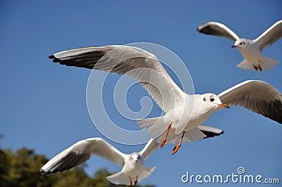 Black-headed-gull