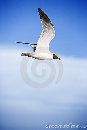 Free Black-headed Gull In Flight. Royalty Free Stock Images - 2038139