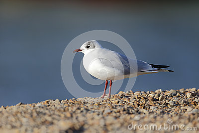 Black-headed gull, Larus ridibundus