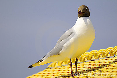 Black-headed gull on roof