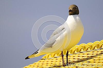 Black-headed gull on roof