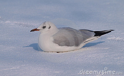 Black-headed Gull on snow