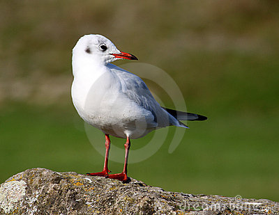 Black Headed Gull in Winter Plumage on rock